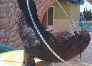 Южноамериканский морской лев Макс